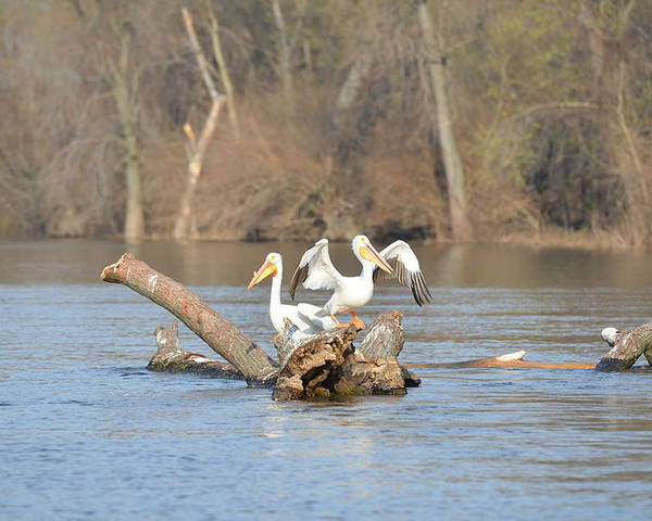 White Pelicans Poster featuring the photograph Perched On A Tree by Tammy Mutka