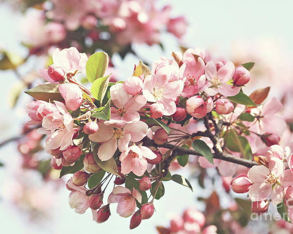 Apple Poster featuring the photograph Pink Apple Blossoms by Sandra Cunningham