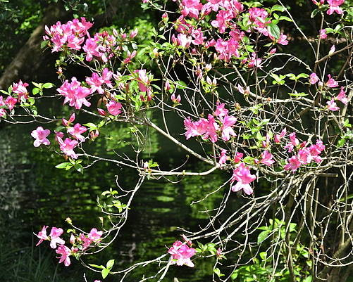 Flowers Poster featuring the photograph Pink Azaleas by Carol Bradley