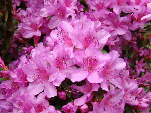 �azaleas Artwork� Poster featuring the photograph Pink Azaleas Summer Garden 6 Azalea Flowers Giclee Art Prints Baslee Troutman by Baslee Troutman