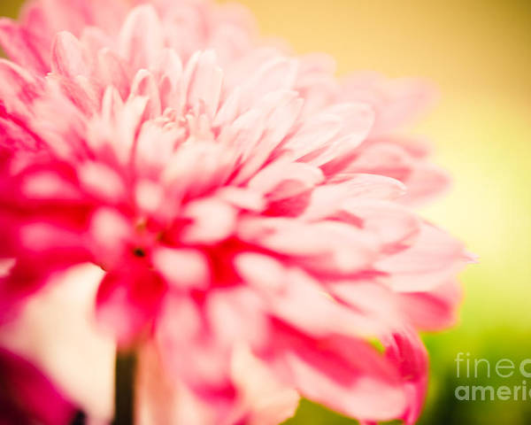 Daisy Poster featuring the photograph Pink Daisy Subdued by Tonya Laker