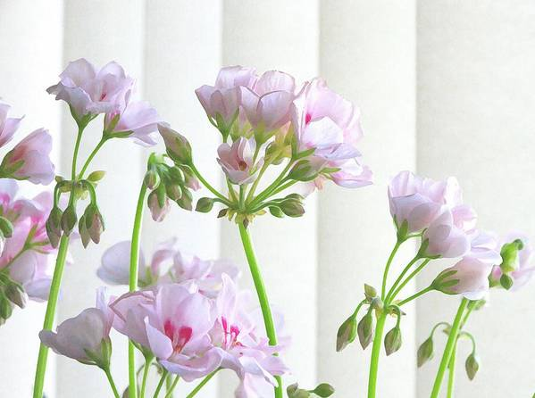 Flower Poster featuring the photograph Pink Geranium by Jim Darnall