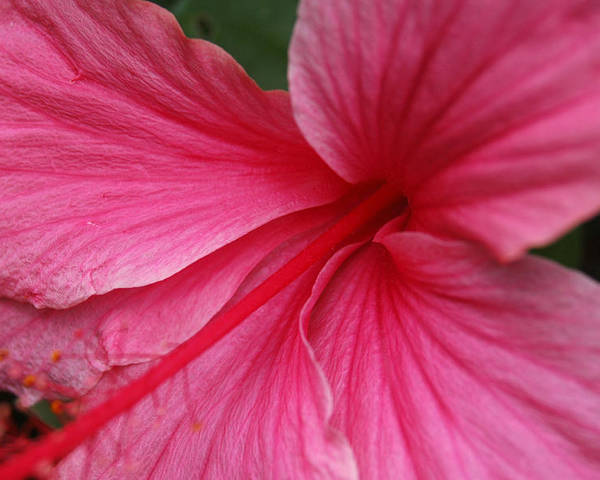 Pink Poster featuring the photograph Pink Hibiscus by Kathy Schumann