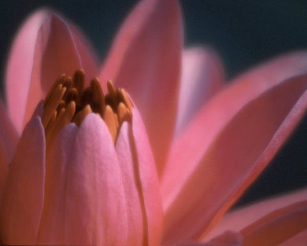 Lily Poster featuring the photograph Pink Lily Close-up by Karen Garvin