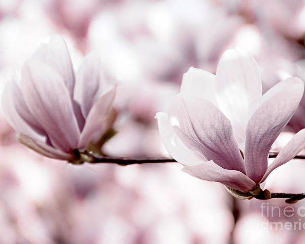 Magnolia Poster featuring the photograph Pink Magnolia by Elena Elisseeva