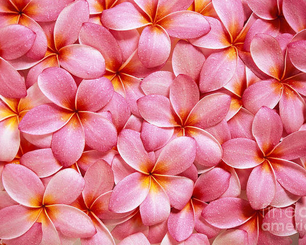 Aloha Poster featuring the photograph Pink Plumeria by Kyle Rothenborg - Printscapes