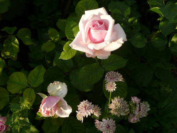 Pink Roses Poster featuring the photograph Pink Rose by Kate Leikin