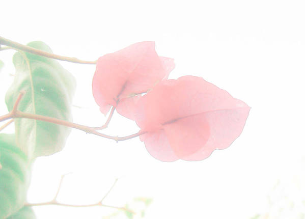 Flower Poster featuring the photograph Pink Softness by Filipa Mendes