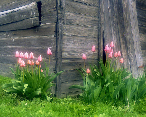 Garden Poster featuring the photograph Pink Tulips And Weathered Shed by Roger Soule