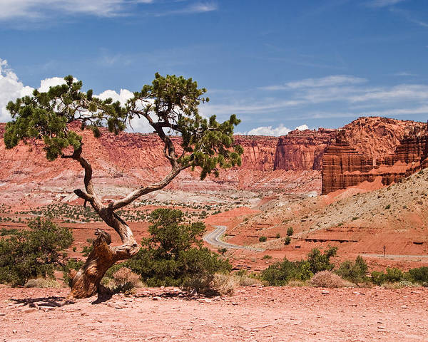 Capitol Reef Poster featuring the photograph Pinyon Pine Tree by James Marvin Phelps