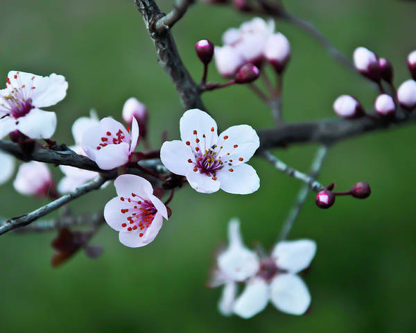 Plum Tree Poster featuring the photograph Plum Tree Blossom by Marie Janssen