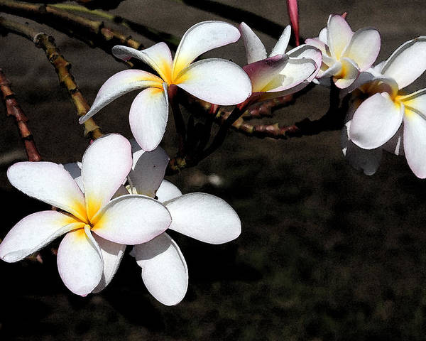 Watercolor Poster featuring the photograph Plumeria 1 by Doug Johnson