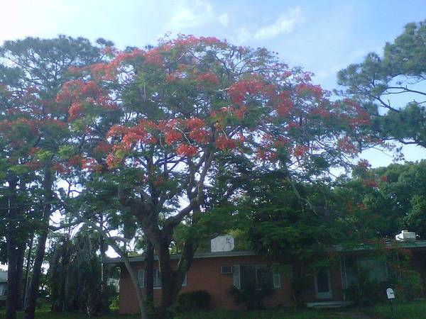 Poster featuring the photograph Poinciana In Summer Time by Malcolm Muhammad