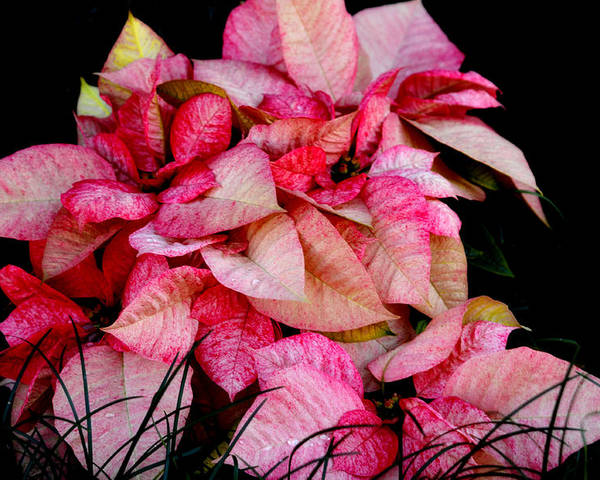 Poinsettia Poster featuring the photograph Poinsettia by Lyle Huisken