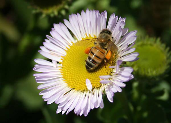Pollen Harvest Poster featuring the photograph Pollen Harvest by Ellen Henneke