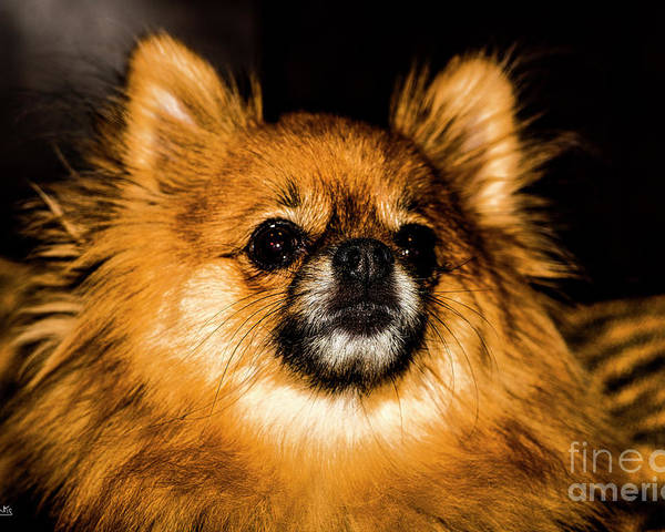 Pomeranian Chihuahua Mix 1 Poster