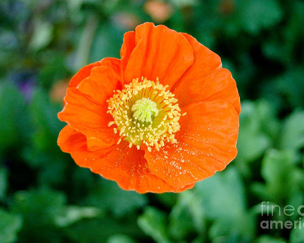 Orange Poppie Poster featuring the photograph Poppie by Maureen Norcross
