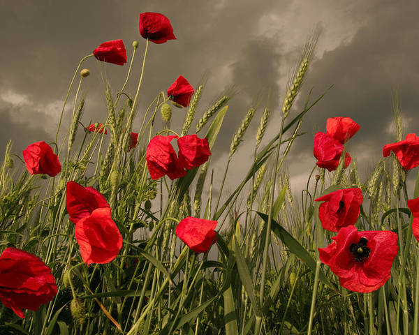 Poppies Poster featuring the photograph Poppy Field Before The Storm by Floriana Barbu