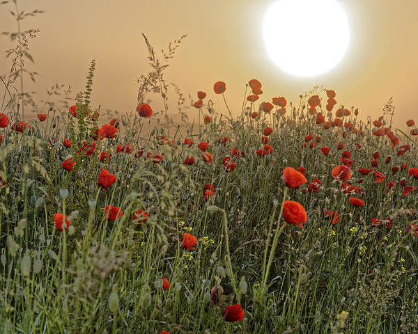 Agriculture Poster featuring the photograph Poppy Field In The Morning by Adrian Bud