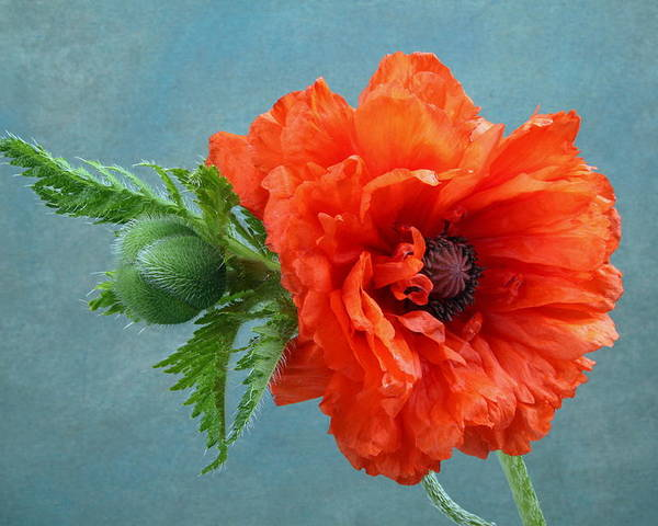 Poppy Poster featuring the photograph Poppy Flower by Manfred Lutzius