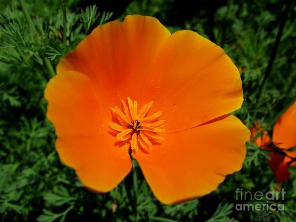Orange Poppy Poster featuring the photograph Poppy Season by PJ Cloud