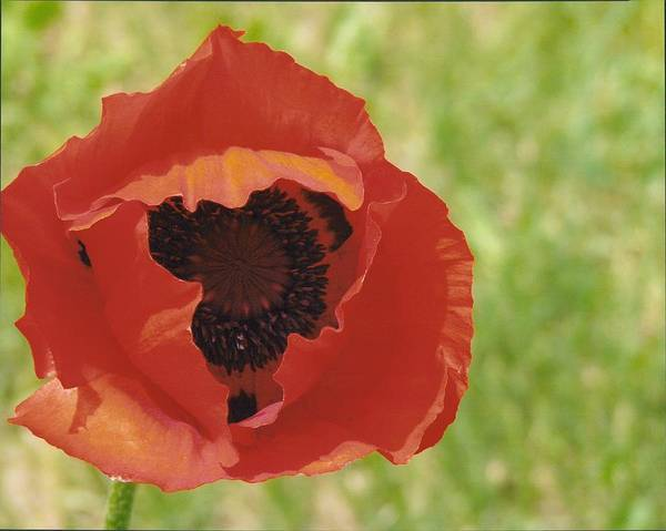 Flower Poster featuring the photograph Poppy by Yolanda Lange