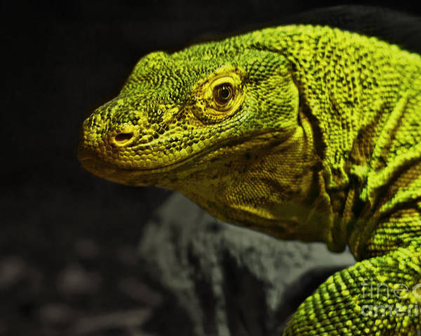Komodo Dragons Poster featuring the photograph Portrait Of A Komodo Dragon by Jim Fitzpatrick