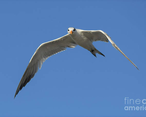 Royal Tern Poster featuring the photograph Posing Tern by William Tasker