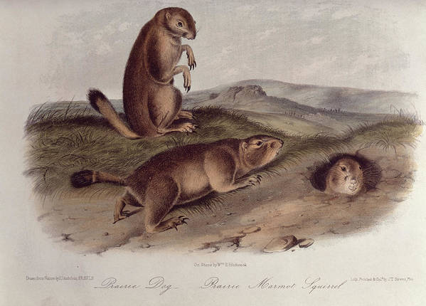 Prairie Dog From 'quadrupeds Of North America' Poster featuring the drawing Prairie Dog by John James Audubon