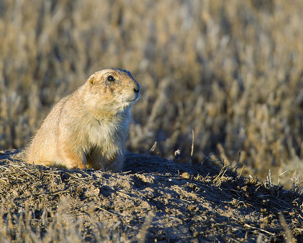 Prairie Poster featuring the photograph Prairie Dog Watchful Eye by Gary Langley