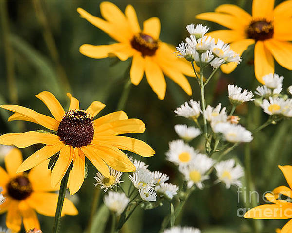 Daisy Poster featuring the photograph Prairie Sceen by Mark Braun