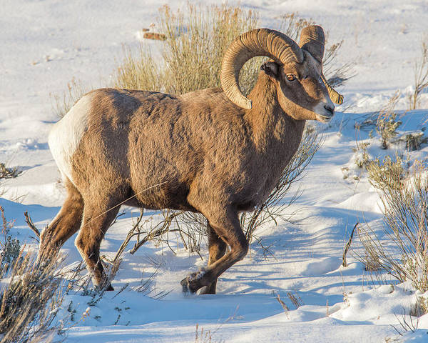 Ram Poster featuring the photograph Prancing Ram In Snow by Yeates Photography