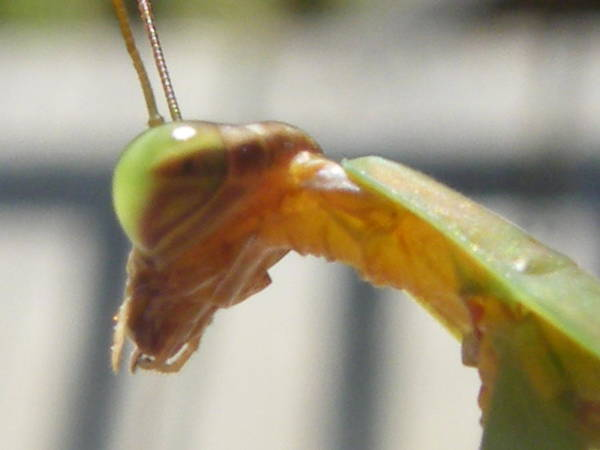 Nature Poster featuring the photograph Praying For Whose Mantis by Margaret G Calenda