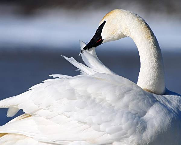 Trumpeter Swan Poster featuring the photograph Preening by Larry Ricker