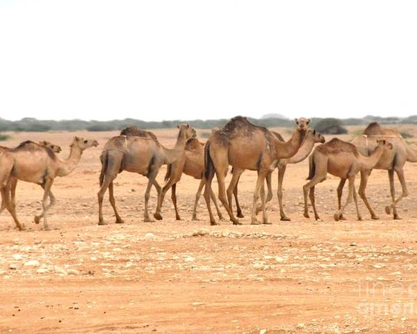 Camels Poster featuring the photograph Pretty Camels All In A Row by Sunaina Serna Ahluwalia