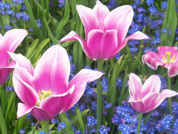 Pink Poster featuring the photograph Pretty Pink Tulips by Ann Montgomery