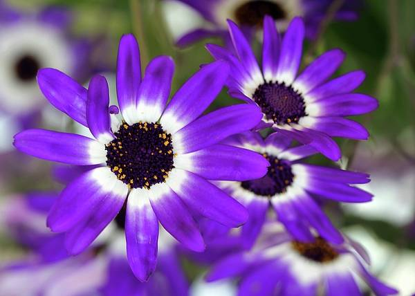 Flower Poster featuring the photograph Pretty Purple Daisies by Sabrina L Ryan