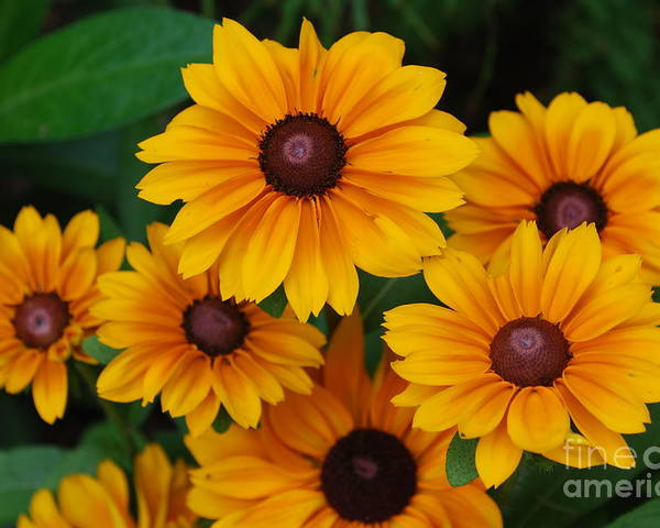 Rudbeckia Poster featuring the photograph Pretty Rudbeckia Flowers In Bloom by DejaVu Designs
