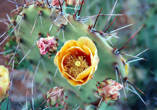 Prickly Pear Poster featuring the photograph Prickly Pear Bloom by Heather S Huston