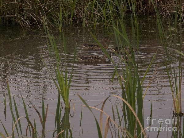 Black Ducks Poster featuring the photograph Private Duck Swimming Hole 1 by Elizabeth Ann Roy