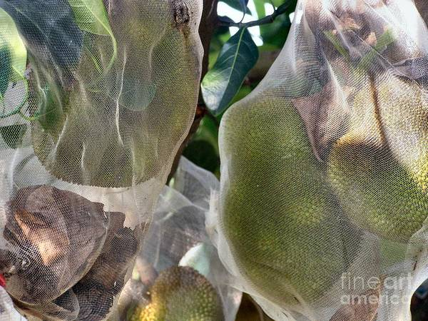 Durian Poster featuring the photograph Protect Your Durian by Kathy Daxon