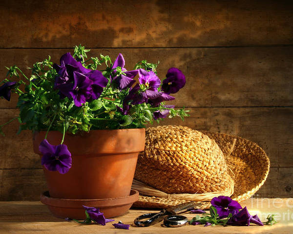 Flower Poster featuring the photograph Pruning Purple Pansies by Sandra Cunningham
