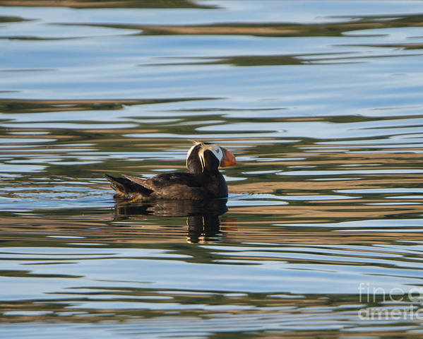 Tufted Puffin Poster featuring the photograph Puffin Reflected by Mike Dawson