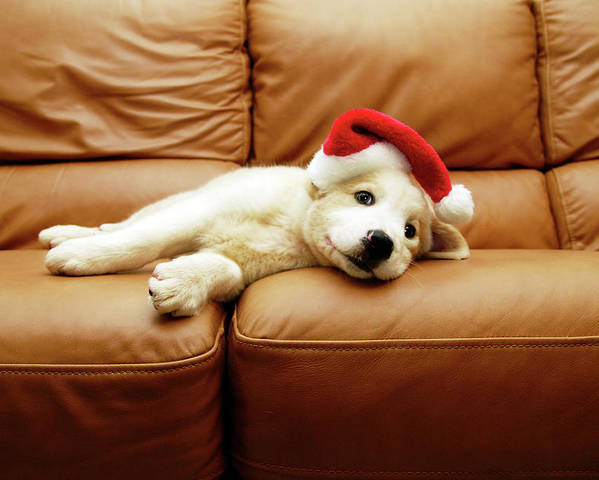 Horizontal Poster featuring the photograph Puppy Wears A Christmas Hat, Lounges On Sofa by Karina Santos