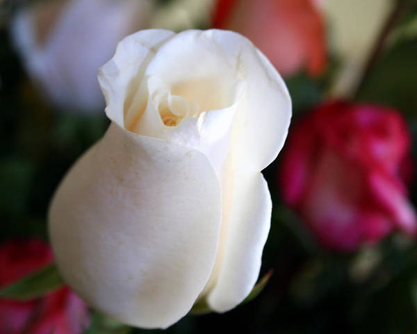 Pure Poster featuring the photograph Pure White Rose Bud by Bob Gardner