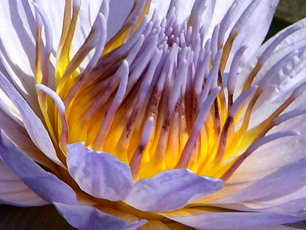 Water Lily Poster featuring the photograph Purple and Gold Lily by John Lautermilch
