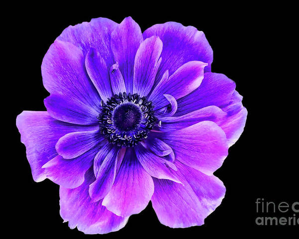 Purple Flower Poster featuring the photograph Purple Anemone Flower by Mariola Bitner