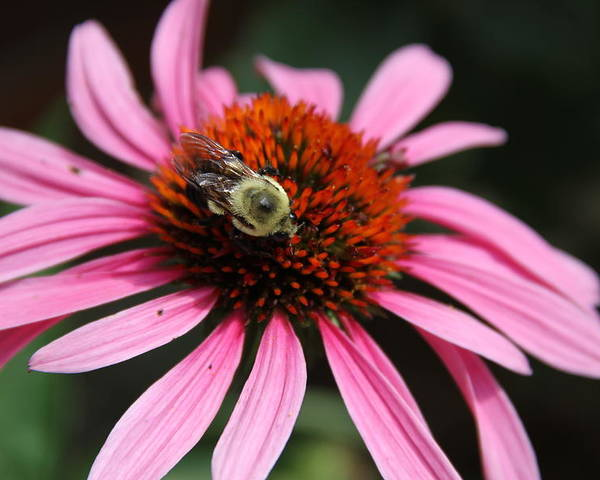 Purple Cone Flower Poster featuring the photograph Purple Cone Flower 3 by Rebecca Pavelka