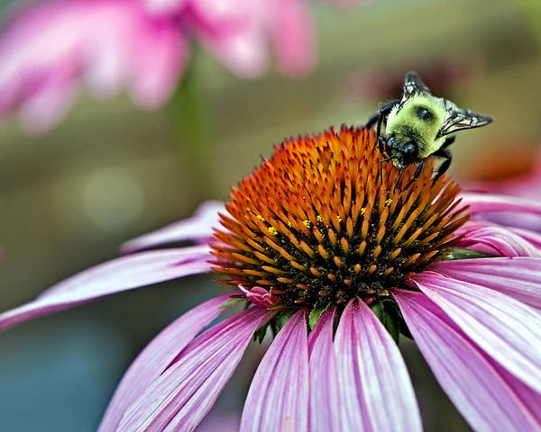 Macro Poster featuring the photograph Purple Cone Flower And Bee by Al Mueller
