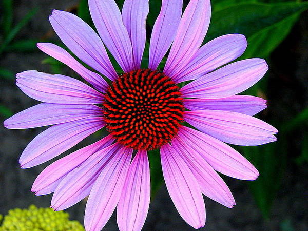 Floral Poster featuring the photograph Purple Daisy by Kathy Roncarati